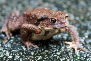 Noto frog